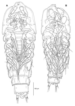 Ventral view of female and male copepod, technical pen - published in Journal of Crustacean Biology, March 2012