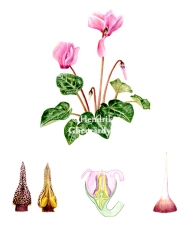 Botanical plate of Cyclamen persicum