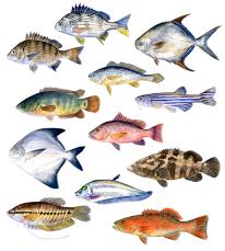 Asian fish species (watercolour)