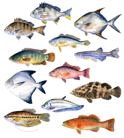 Asian fish species (watercolour)