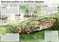 Burmese Python vs American Alligator, published in World of Animals issue 14