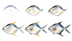 Golden Pompano, in watercolour