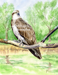 Osprey, published in Buitenleven magazine (SOLD)