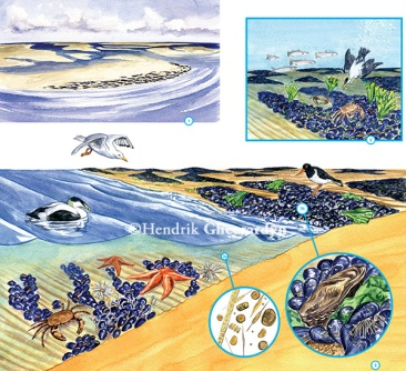Mussel bed ecosystem in Dutch Wadden Sea, published in book 'Een zee van mosselen' by Stichting ANEMOON (April 2015)