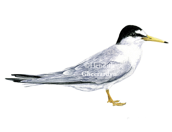 Little tern (size of painting itself 22 x 11 cm)