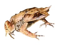 Long-nosed horned frog (watercolour, including custom-made frame: 385 euro)