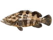 Malabar grouper (Greasy grouper) - Epinephelus malabaricus (watercolour)