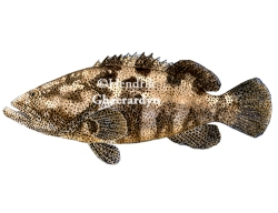 Malabar grouper (Greasy grouper) - Epinephelus malabaricus (watercolour, 75 euro)