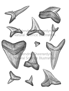 Shark teeth - for exhibition at visitor centre Duinpanne