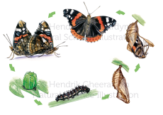 Admiral life cycle (published in Geo Wissen)